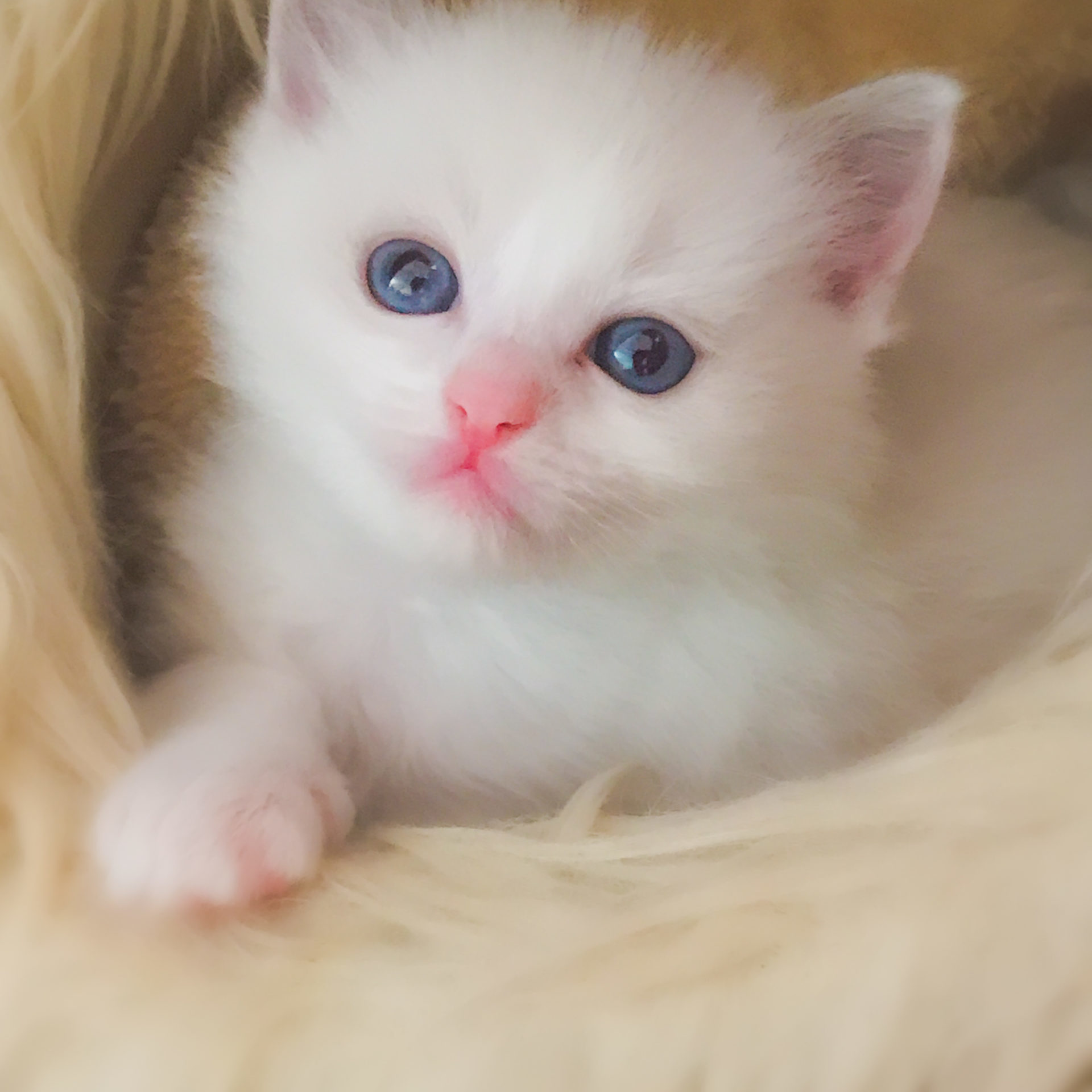 Ruby - chaton ragdoll blue point et blanc