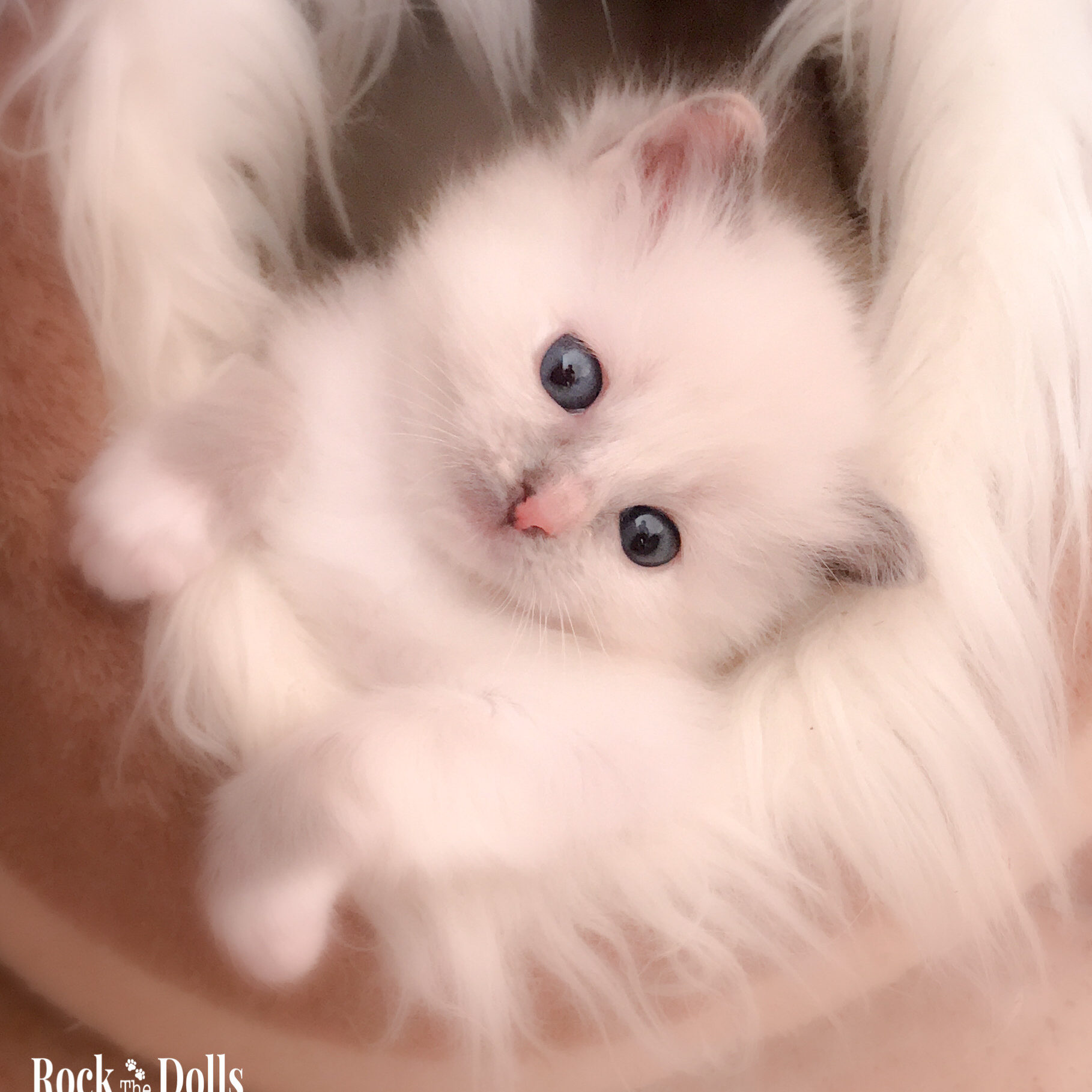 SHIPPIE - ragdoll blue sortie point mitted