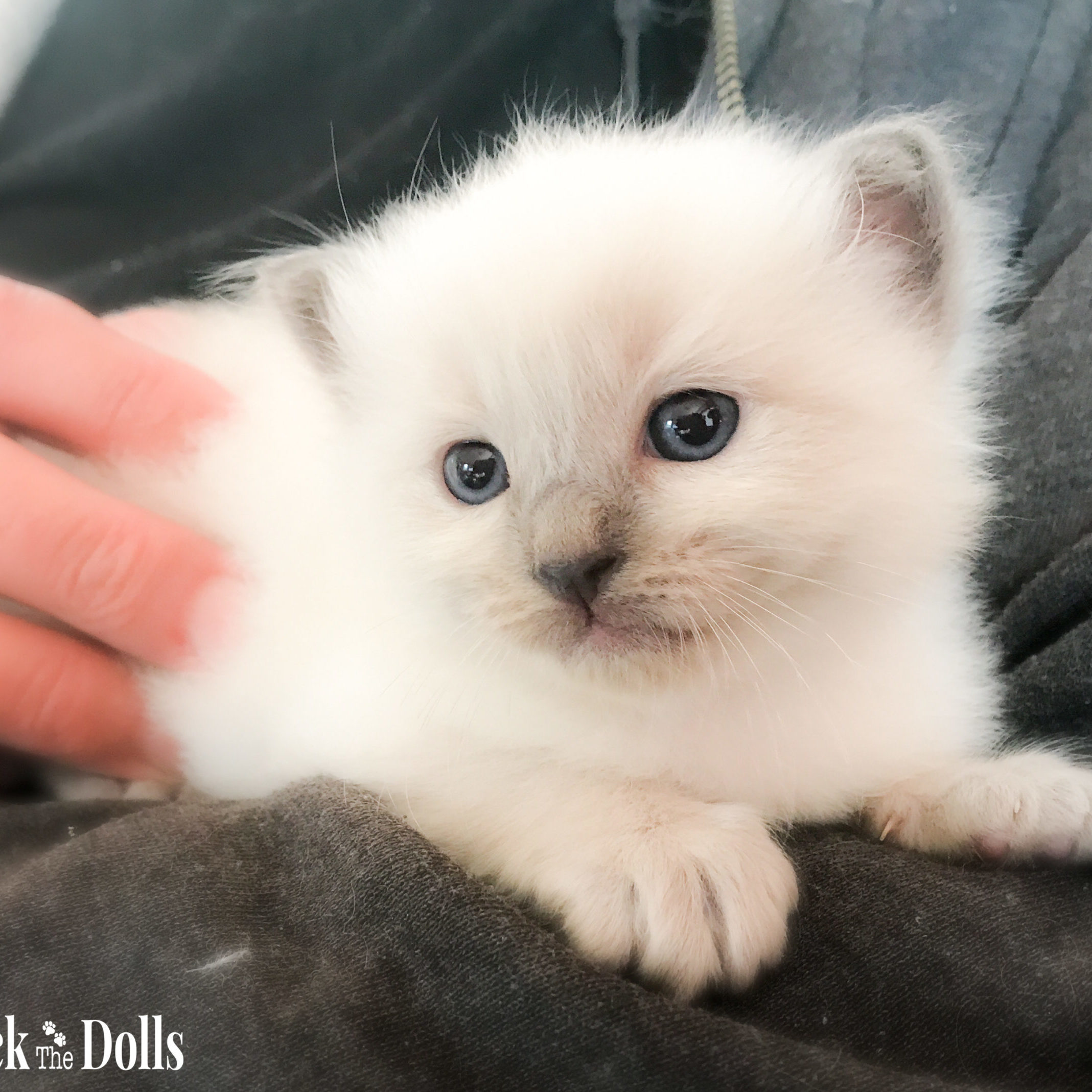 SOKKA - ragdoll blue point
