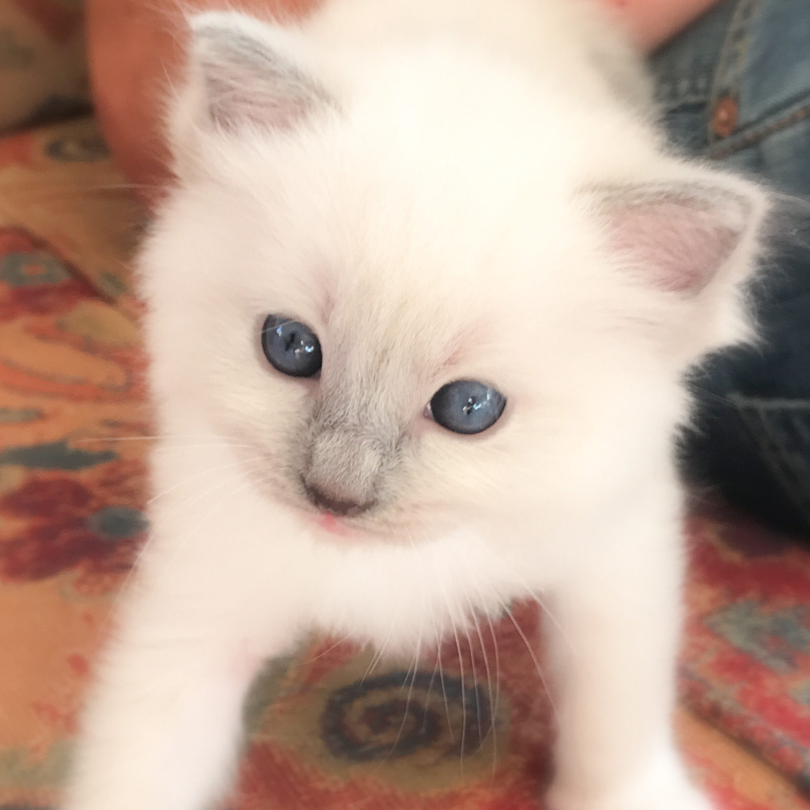 SYDNEY - Ragdoll blue point mitted